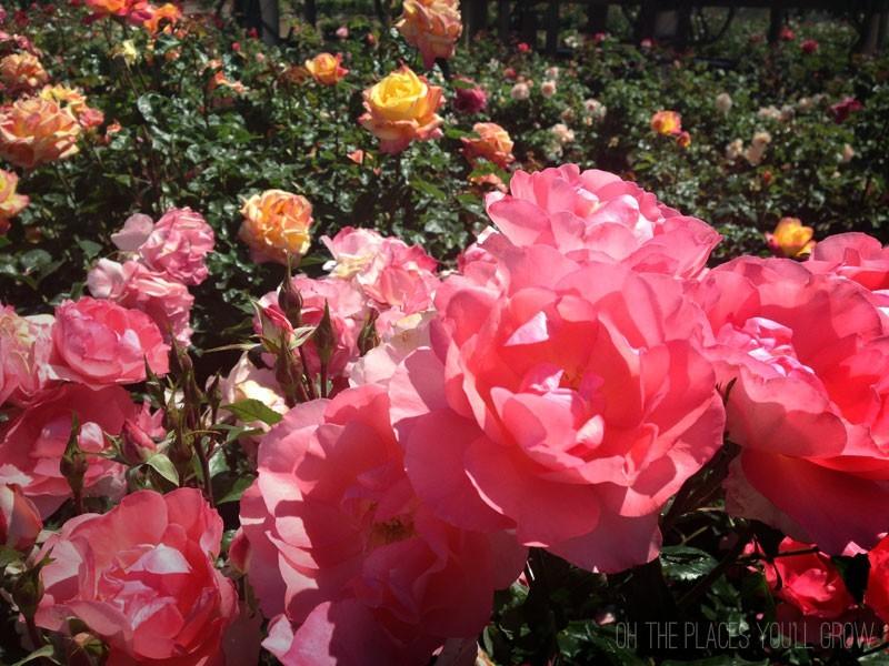 Pink Roses In Balboa Park's Rose Garden