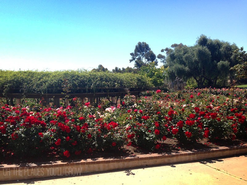 Roses in bloom at Balboa Park's Rose Garden