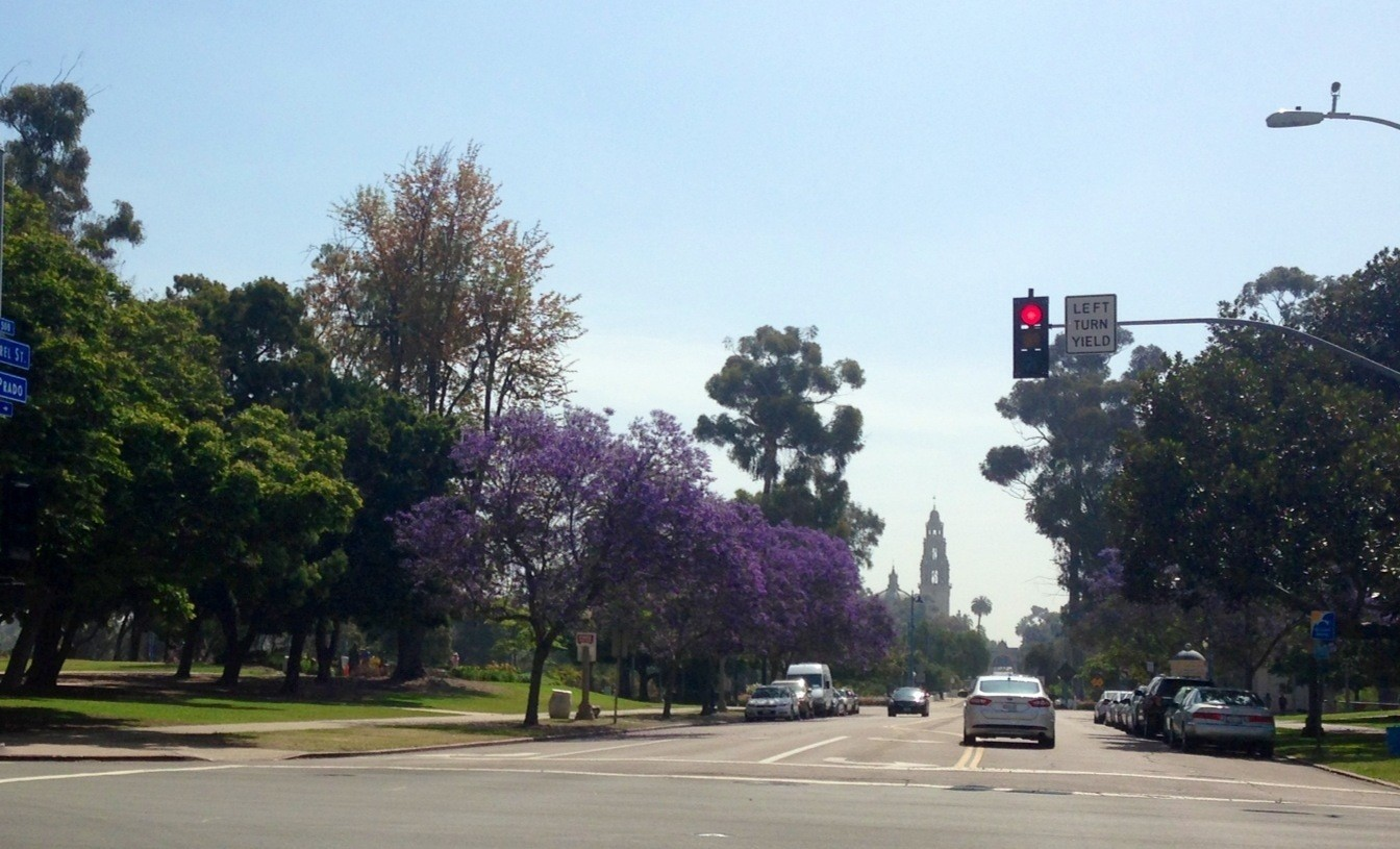 Jacaranda Trees in bloom at Balboa park