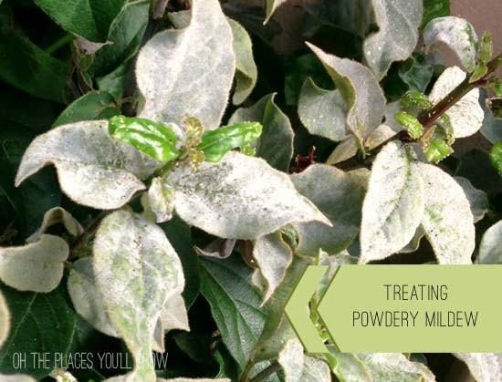 powdery mildew on plant