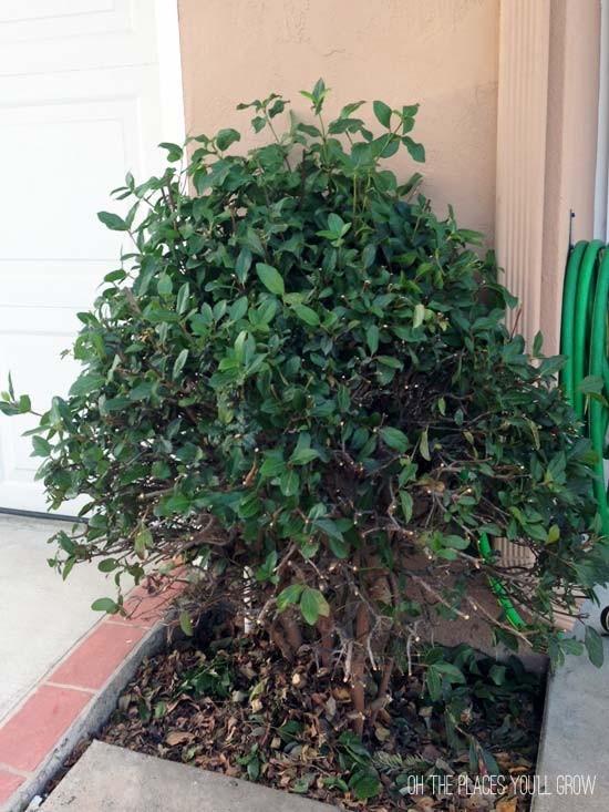 pruned bush (before mildew)