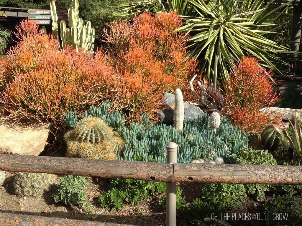 Safari Park succulents