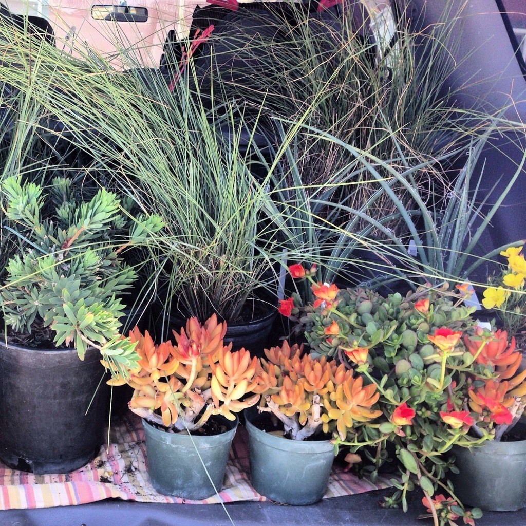 my trunk is filled with plants for the front yard from Evergreen Nursuery